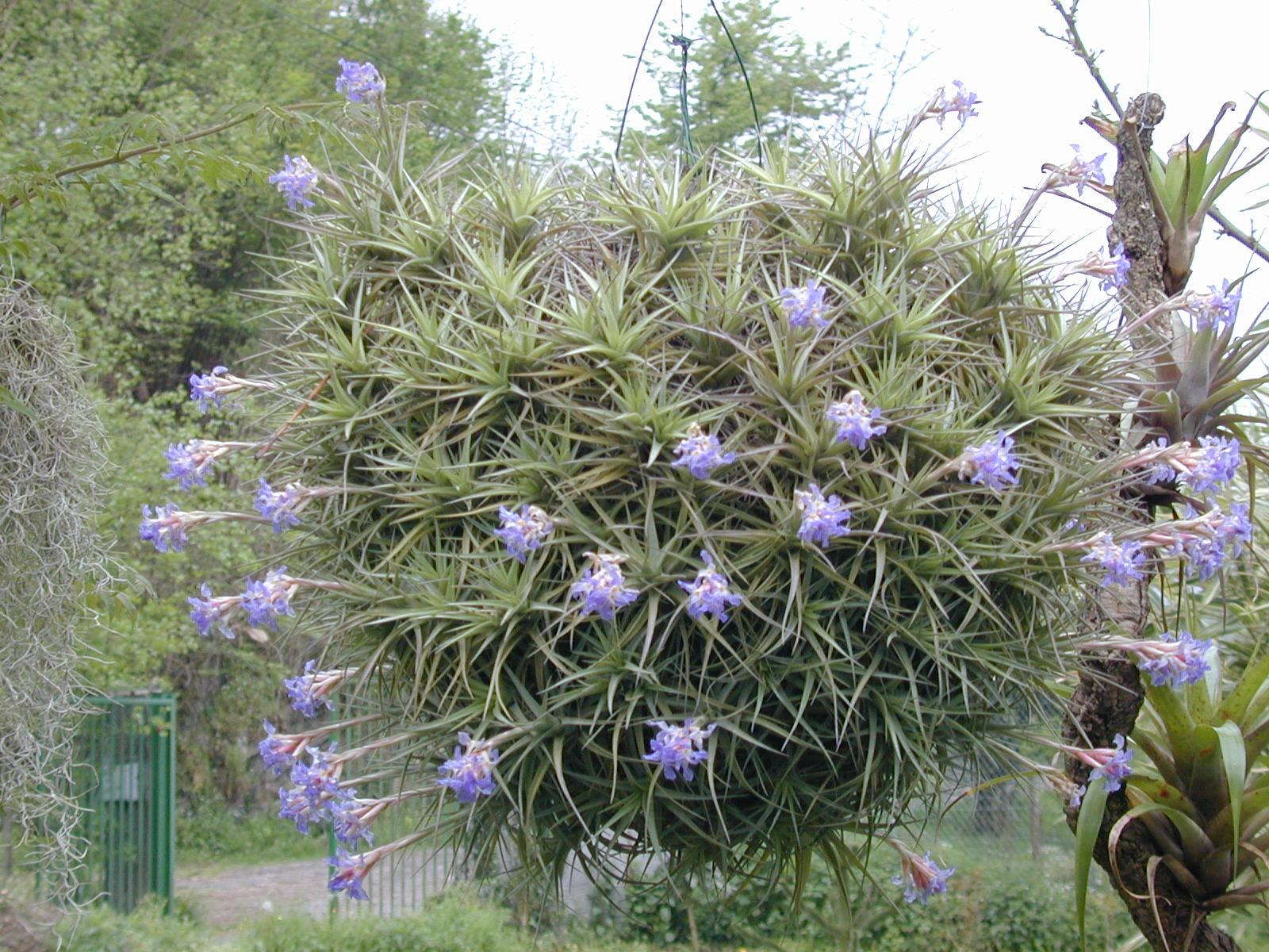 P pini re tropic flore photo tillandsia bergeri en fleurs - Plante vivant sans terre ...