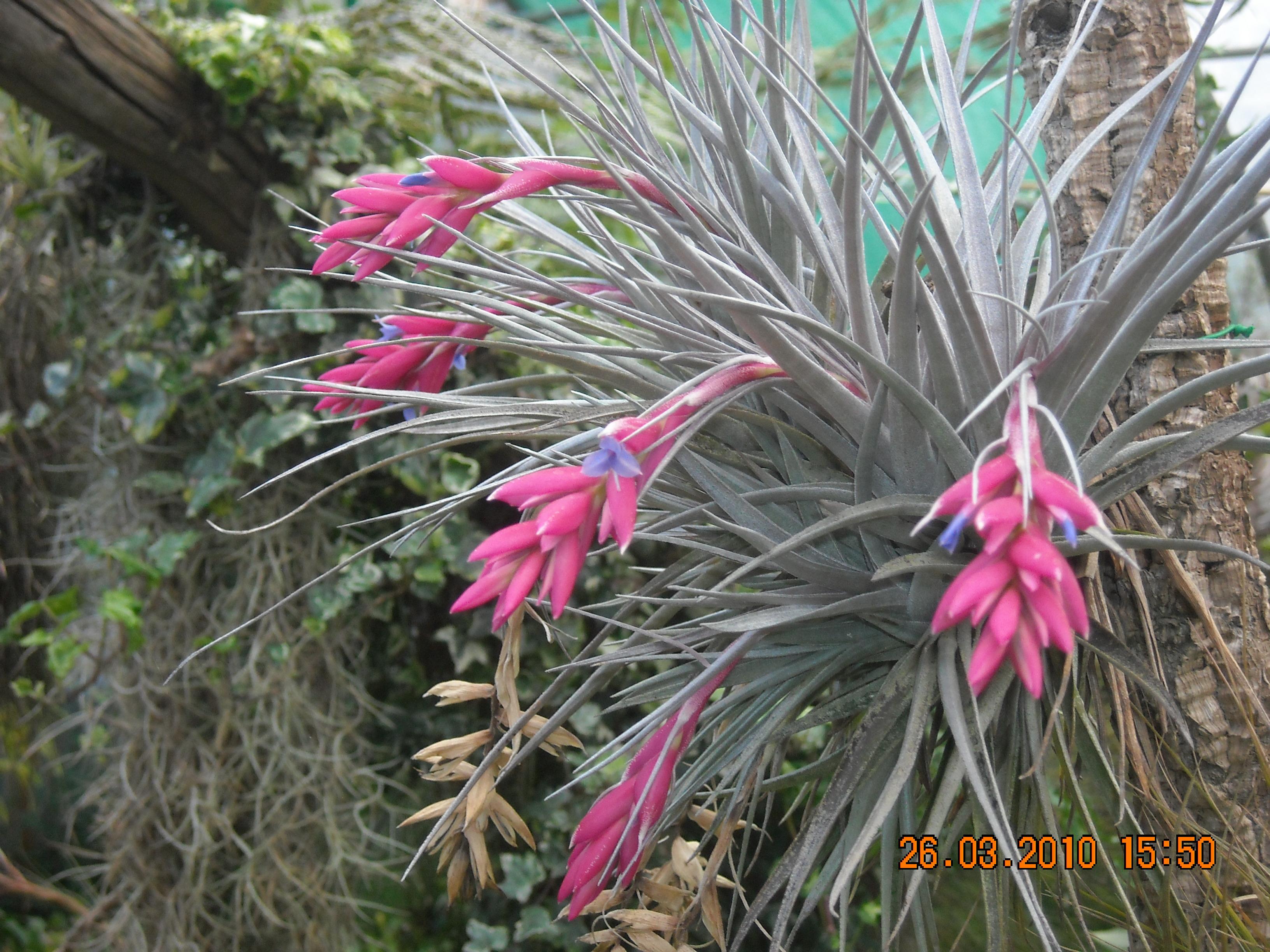 Galerie photos plantes piphytes tillandsias brom liac es for Vente de plantes