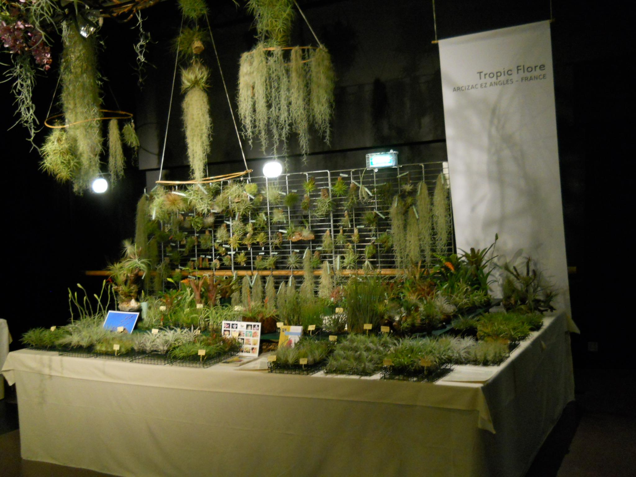 Tropic flore plantes piphytes tillandsias et autres for Site de vente de plantes