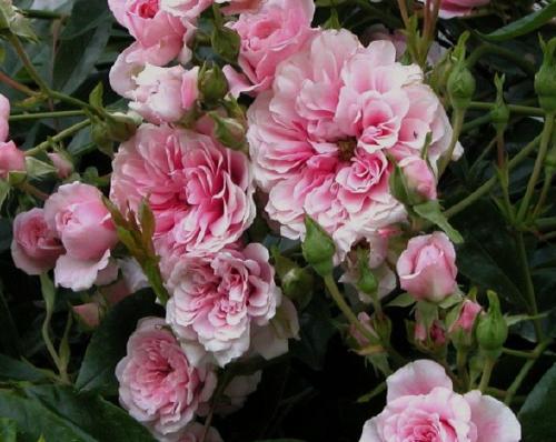 Vente en ligne de rosiers et de cl matites p pini re des for Site de vente de plantes en ligne