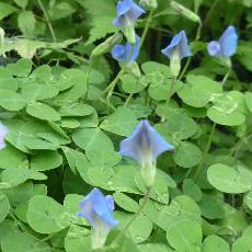 parochetus communis papilionaceae tr fle bleu blue clover blue oxalis shamrock pea. Black Bedroom Furniture Sets. Home Design Ideas