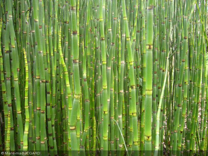 Equisetum camtschatcense equisetaceae pr le du for Grande plante verte exterieur