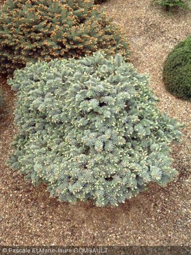 Abies Procera Blaue Hexe Pinaceae Sapins