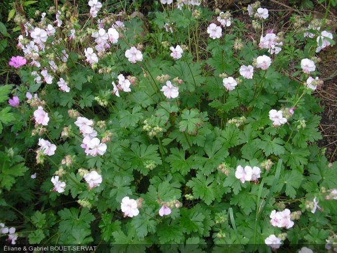 geranium x cantabrigiense 39 biokovo 39 geraniaceae. Black Bedroom Furniture Sets. Home Design Ideas