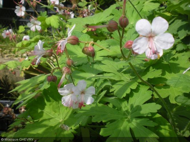 geranium macrorrhizum 39 spessart 39 geraniaceae g ranium. Black Bedroom Furniture Sets. Home Design Ideas