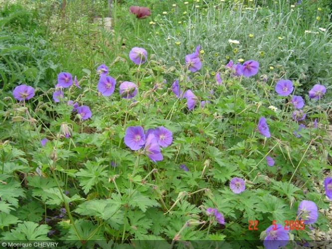 geranium himalayense 39 gravetye 39 geraniaceae g ranium. Black Bedroom Furniture Sets. Home Design Ideas