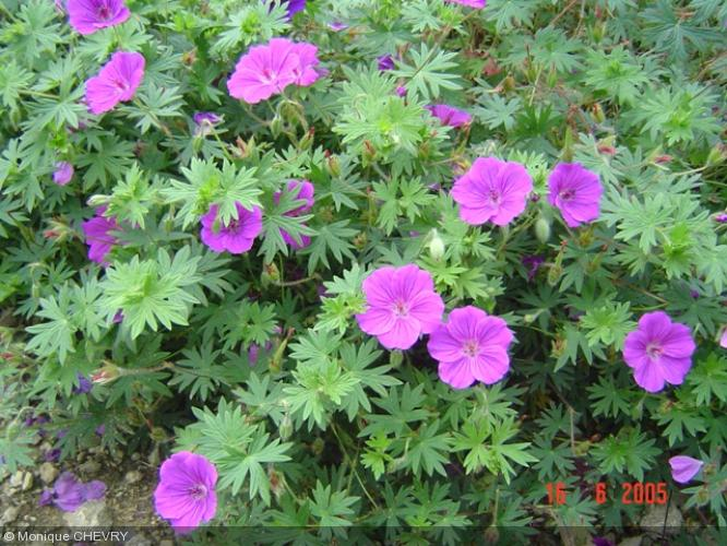 Geranium 39 tiny monster 39 geraniaceae g ranium vivace for Plante grasse exterieur vivace