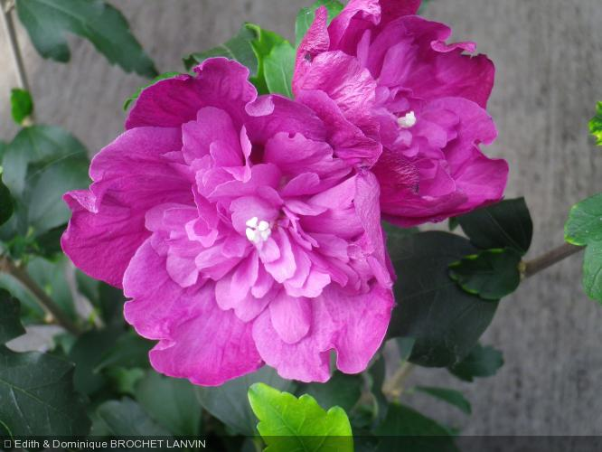 hibiscus syriacus 39 purple ruffles 39 malvaceae althea. Black Bedroom Furniture Sets. Home Design Ideas