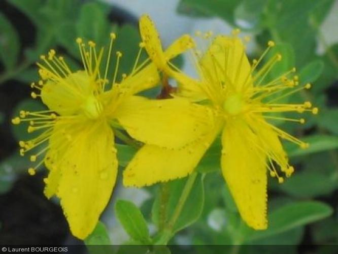 hypericum perforatum clusiaceae millepertuis herbe de la saint jean. Black Bedroom Furniture Sets. Home Design Ideas