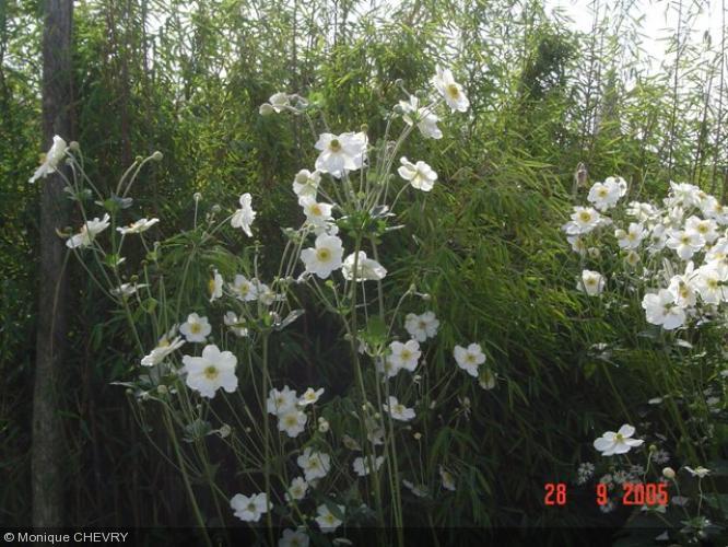 Anemone hybride 39 g ante blanche 39 ranunculaceae anemone - Anemone du japon blanche ...