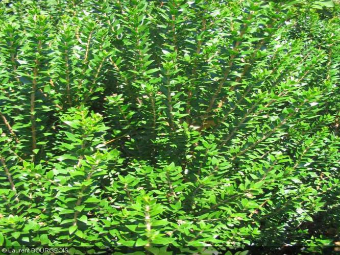 Myrtus communis myrtaceae myrte for Myrte arbuste