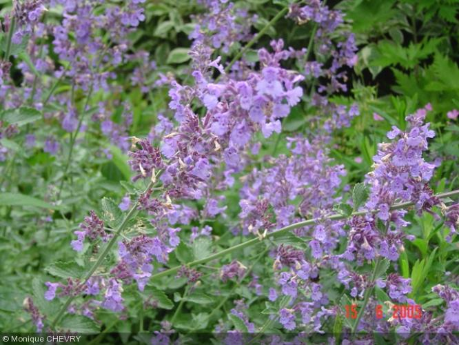 Nepeta racemosa 39 walker 39 s low 39 lamiaceae herbe chat raceme catnip - Herbe a chat plante ...