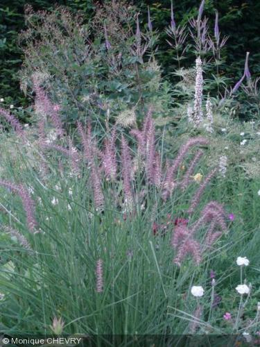 pennisetum orientale 39 karley rose 39 poaceae herbe aux couvillons pink fountain grass. Black Bedroom Furniture Sets. Home Design Ideas