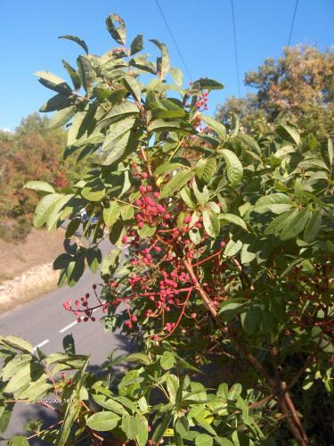 Pistacia terebinthus anacardiaceae pistachier t r binthe for Toutes les plantes vertes