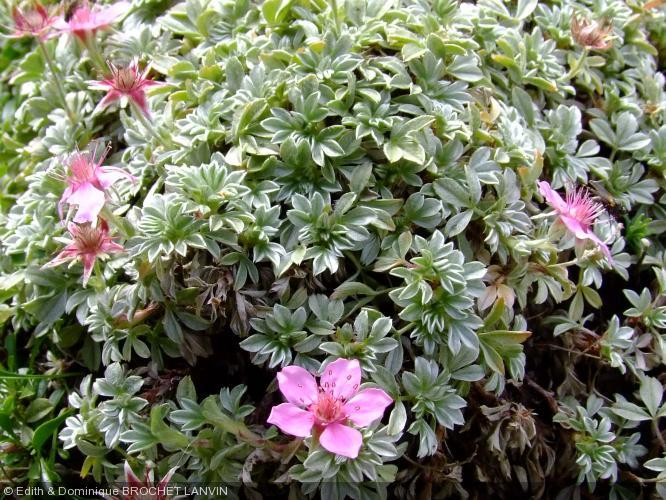 potentilla nitida rosaceae potentille luisante. Black Bedroom Furniture Sets. Home Design Ideas
