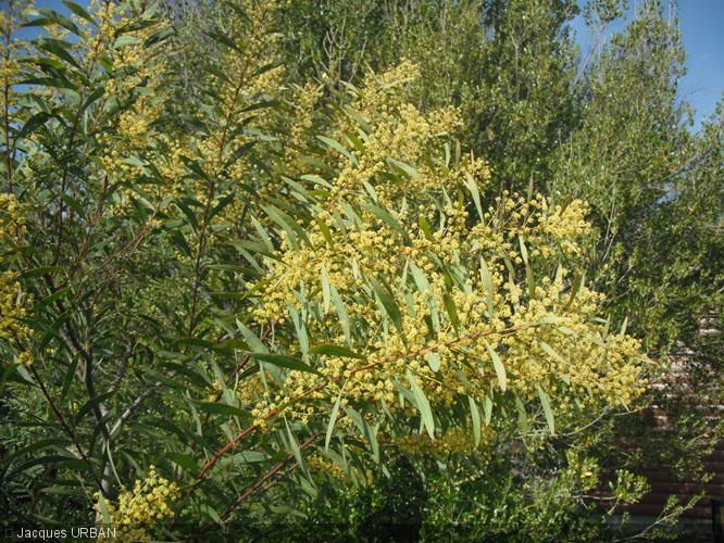 Acacia Rubida Mimosaceae Mimosa Red Stem Wattle