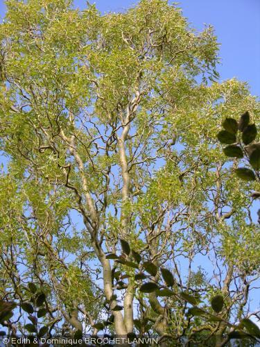 salix matsudana 39 caradoc 39 salicaceae saule tortueux. Black Bedroom Furniture Sets. Home Design Ideas