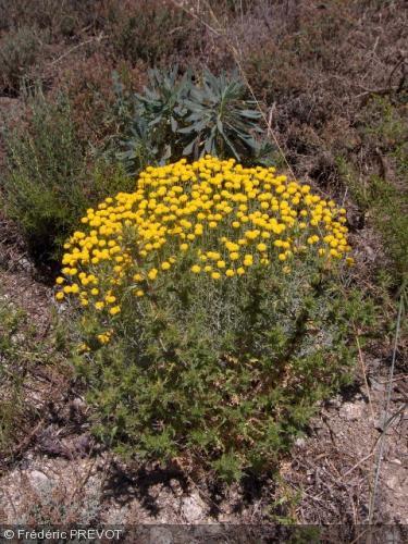 Santolina chamaecyparissus - Asteraceae - Santoline petit cyprès ...