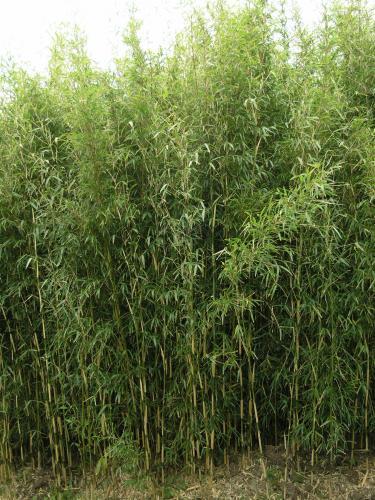 Yushania anceps - Poaceae - Bambou