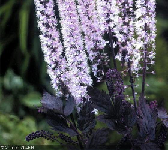 actaea 39 pink spike 39 ranunculaceae cimicifuge cierge d 39 argent. Black Bedroom Furniture Sets. Home Design Ideas