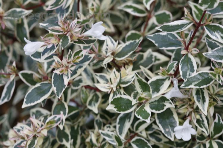 Abelia X Grandiflora Confettii Caprifoliaceae Abélie