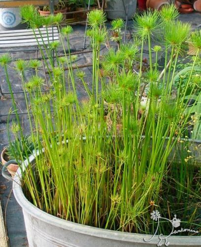 Cyperus papyrus 39 nanus 39 cyperaceae papyrus nain for Jardin du nil wine