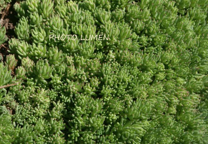 sedum himalense crassulaceae orpin stonecrop. Black Bedroom Furniture Sets. Home Design Ideas