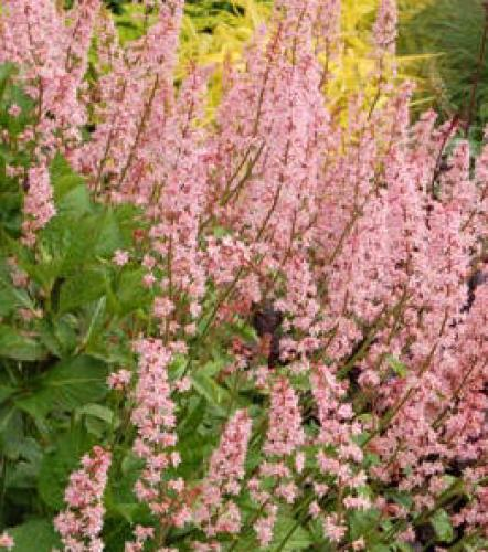 caen rencontres arithmetiques X Heucherella 'Dayglow Pink' - Saxifragaceae