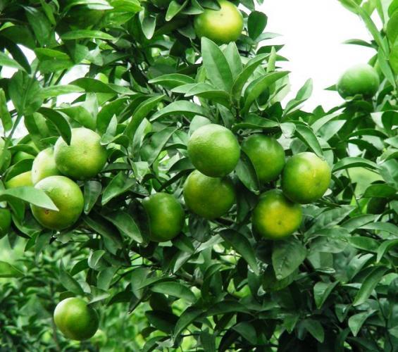 citrus reticulata 39 tangor murcott 39 rutaceae tangor mandarinier honney mandarine. Black Bedroom Furniture Sets. Home Design Ideas