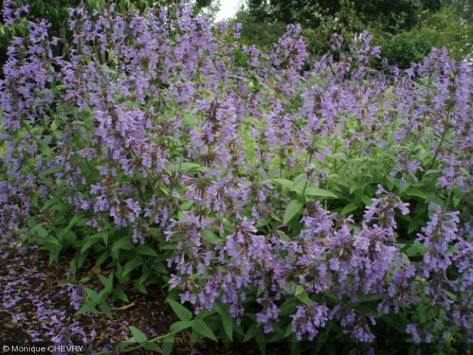 Nepeta racemosa 39 crog 39 lamiaceae herbe chat - Herbe a chat plante ...