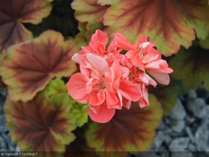 Pelargonium 39 planet le grounch 39 geraniaceae geranium - Quand rentrer les geraniums ...