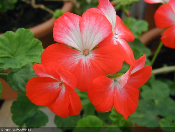 Pelargonium 39 cathy 39 geraniaceae geranium - Quand rentrer les geraniums ...
