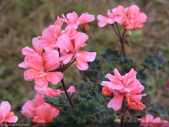 Pelargonium 39 china doll 39 geraniaceae geranium - Quand rentrer les geraniums ...