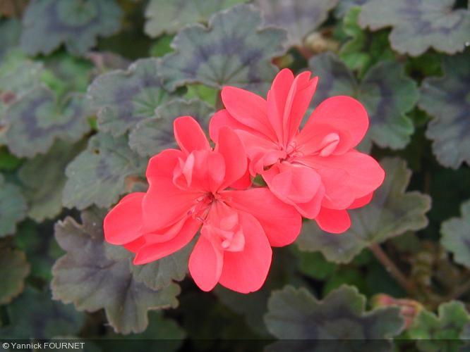 Pelargonium 39 kayleigh west 39 geraniaceae geranium - Quand rentrer les geraniums ...