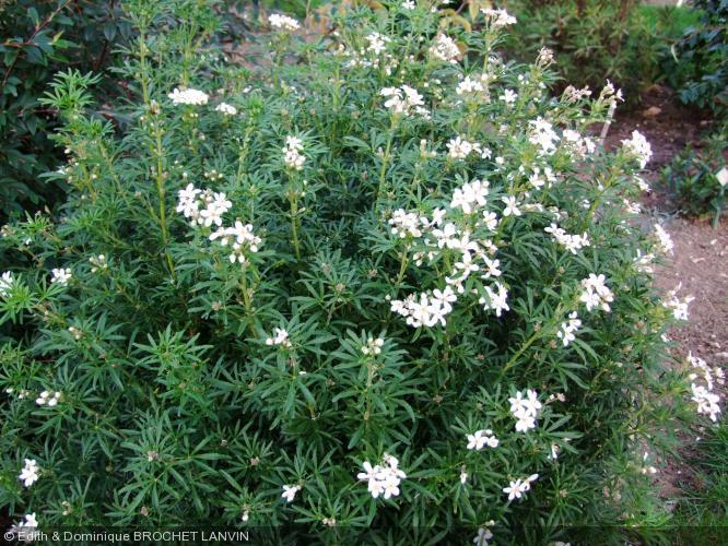 Choisya ternata 39 white dazzler 39 rutaceae oranger du mexique - Oranger du mexique en pot ...