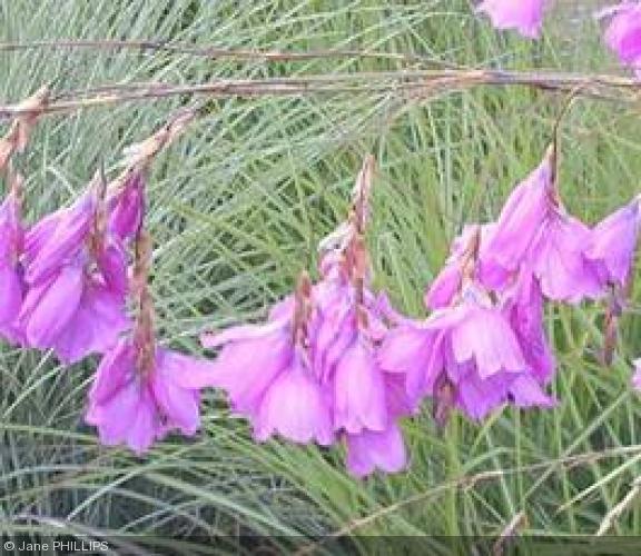 Dierama 39 lancelot 39 iridaceae canne p che des anges - Canne a peche des anges ...
