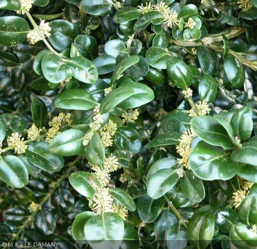 buxus sempervirens 39 rotundifolia 39 buxaceae buis. Black Bedroom Furniture Sets. Home Design Ideas