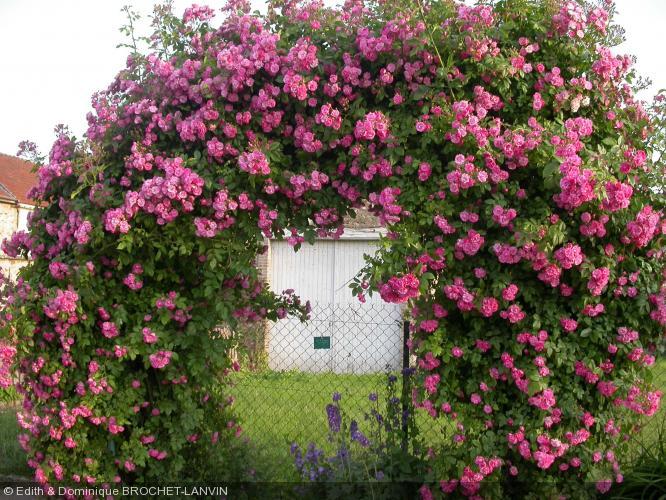rosa 39 mrs fw flight 39 rosaceae rosier. Black Bedroom Furniture Sets. Home Design Ideas