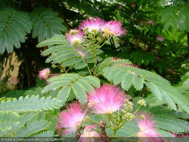 Albizia julibrissin 39 boubri 39 mimosaceae acacia de for Acacia de constantinople prix