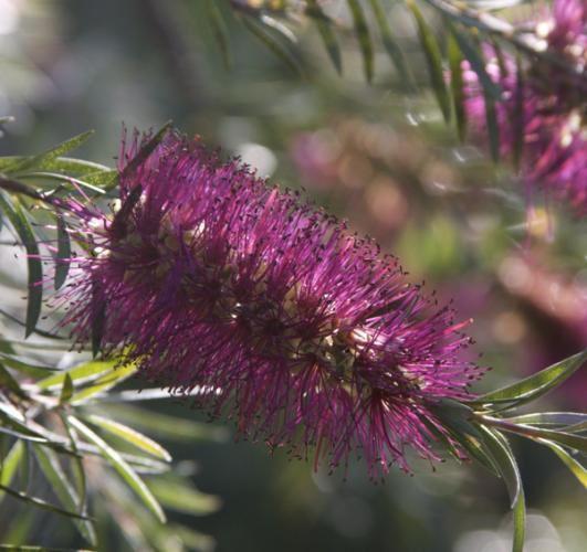 Callistemon 39 violaceus 39 myrtaceae rince bouteilles for Plante rince bouteille