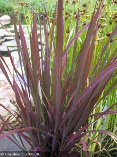Oryza sativa 39 black madras 39 poaceae riz d 39 asie pourpre for Plante verte haute exterieur