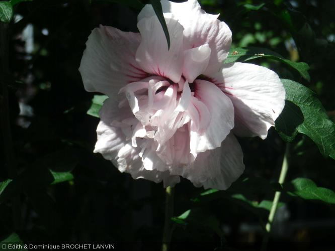 hibiscus syriacus 39 lady stanley 39 malvaceae althea ketmie. Black Bedroom Furniture Sets. Home Design Ideas