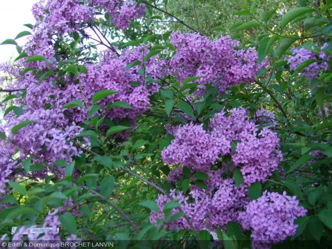 syringa x chinensis saugeana oleaceae lilas de rouen