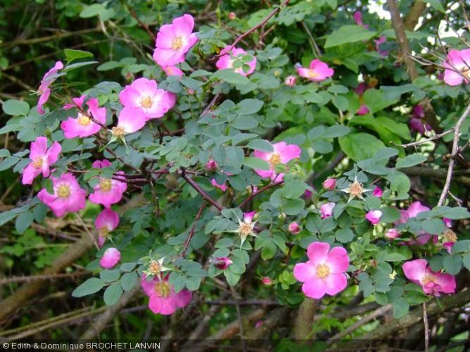 rosa farreri 39 persetosa 39 rosaceae rosier. Black Bedroom Furniture Sets. Home Design Ideas