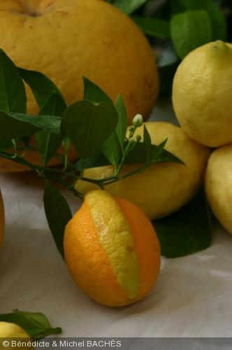 citrus limon 39 gilou 39 rutaceae citron gilou. Black Bedroom Furniture Sets. Home Design Ideas