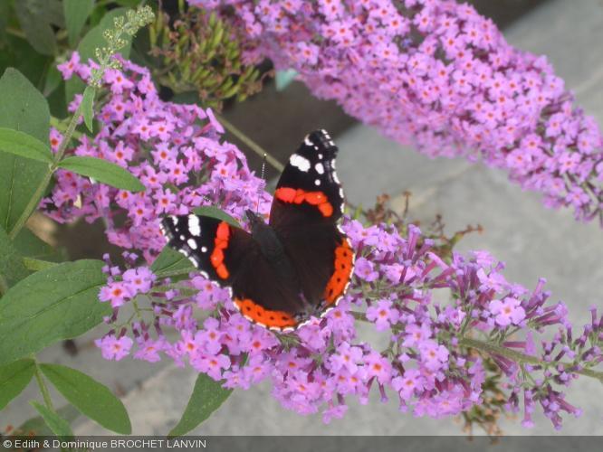 buddeja davidii 39 r ve de papillon 39 buddlejaceae arbuste aux papillons. Black Bedroom Furniture Sets. Home Design Ideas