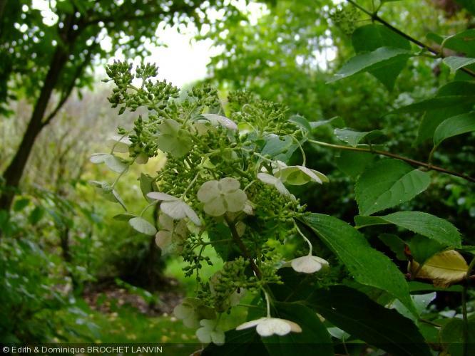 hydrangea paniculata hydrangeaceae hortensia. Black Bedroom Furniture Sets. Home Design Ideas