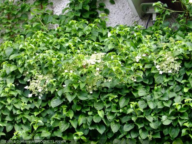 hydrangea anomala subsp petiolaris hydrangeaceae hortensia grimpant. Black Bedroom Furniture Sets. Home Design Ideas