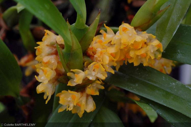 agape rencontres manosque Maxillaria neglecta - Orchidaceae - Orchidée