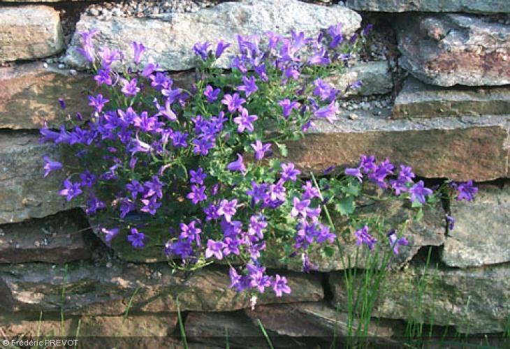 Campanula portenschlagiana campanulaceae campanule des murailles - Campanule des murs ...